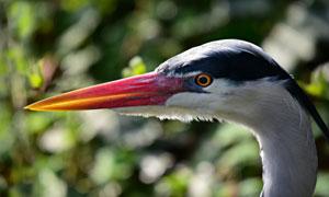 大蓝鹭的头部近景特写摄影高清图片