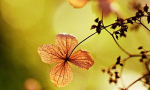 树枝上的枯黄叶子特写摄影高清图片