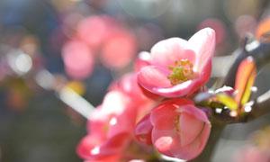 树枝上的粉色小花特写摄影高清图片