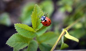 在绿叶上之的瓢虫特写摄影高清图片