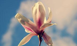 蓝天白云与玉兰花特写摄影高清图片