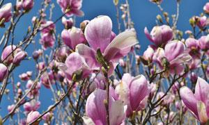 蓝天下的紫色花卉植物摄影高清图片