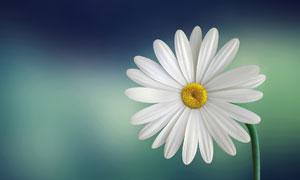 弯着腰的白色雏菊特写摄影高清图片