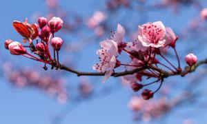 枝头上纷纷盛开的鲜花摄影高清图片