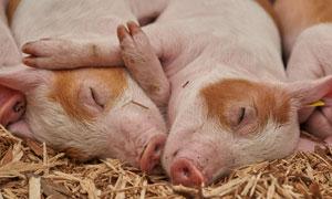 紧紧抱一起睡觉的猪猪摄影高清图片