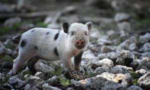 刚拱完地的可爱小花猪摄影高清图片