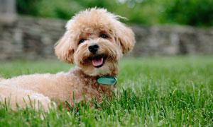 草地上开心玩耍的泰迪摄影高清图片