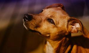 眸子闪着光的狗狗特写摄影高清图片