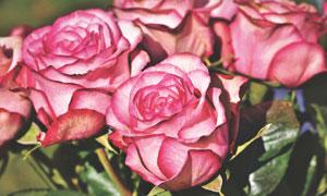 开出鲜花的粉玫瑰特写摄影高清图片