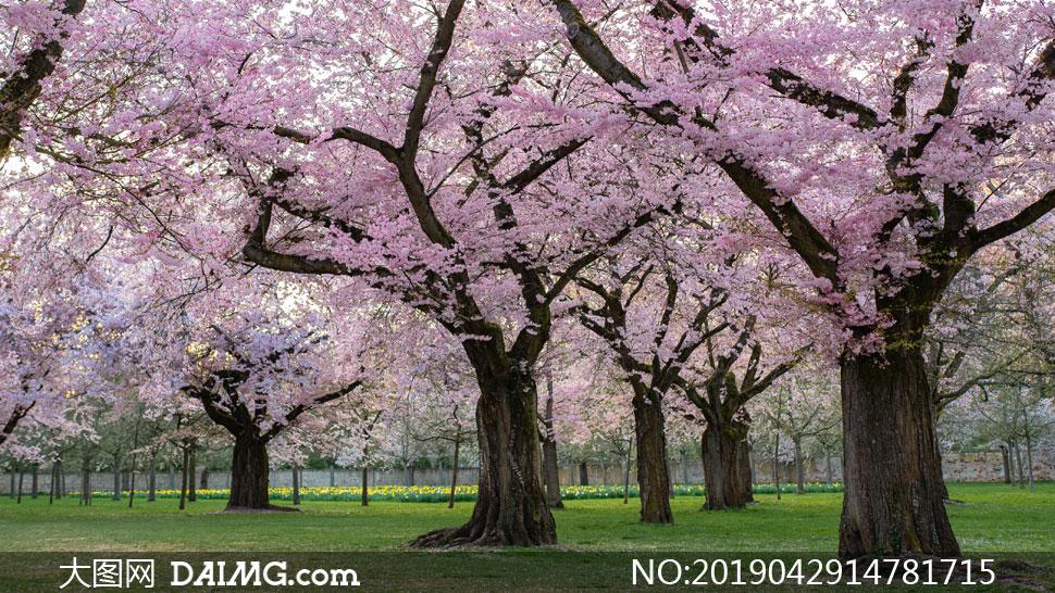 粉红色鲜花盛开的大树摄影高清图片