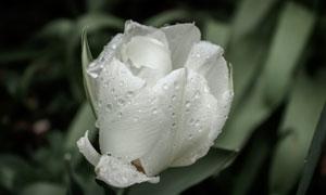 白色的玫瑰花植物特写摄影高清图片