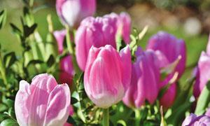 粉嫩色郁金香花卉植物摄影高清图片