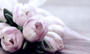淺粉色的郁金香花特寫攝影高清圖片