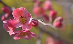 树枝上盛开的红色花朵摄影高清图片