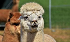 一只昂着头的羊驼特写摄影高清图片