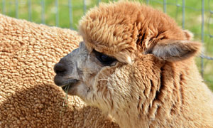 在细嚼慢咽的羊驼特写摄影高清图片