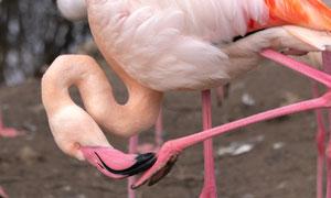 正在整理脚趾的火烈鸟摄影高清图片