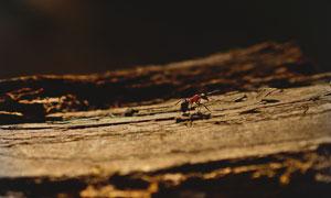 形单影只的红蚂蚁特写摄影高清图片