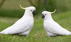 在草坪上的两只小鹦鹉摄影高清图片