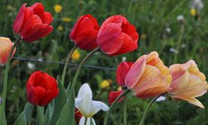 被风吹弯了腰的郁金香花丛高清图片