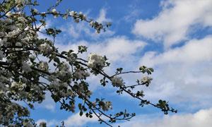 蓝天白云与鲜花盛开的树枝高清图片