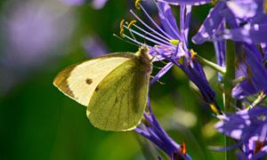 紫色鲜花上采蜜的蝴蝶摄影高清图片
