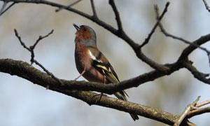树枝上唱歌的麻雀特写摄影高清图片
