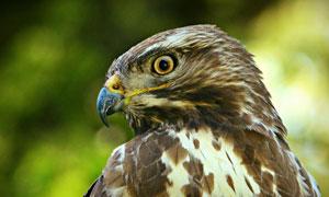 瞪着眼睛的猫头鹰特写摄影高清图片