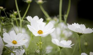 开出白色花朵的波斯菊摄影高清图片