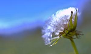 一朵成熟的蒲公英特写摄影高清图片