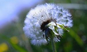 慢慢脱落的蒲公英植物摄影高清图片