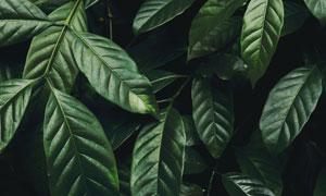 墨绿色的植物叶子特写摄影高清图片