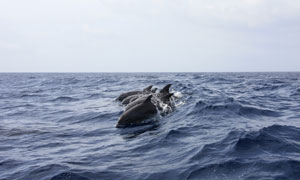 海面上排成队的海豚们摄影高清图片