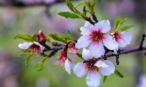 在苹果树上盛开的鲜艳花朵高清图片