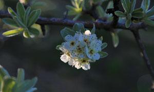 树枝上的绿叶与白色的鲜花高清图片