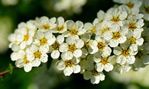 树枝上白色圆形花瓣的鲜花高清图片