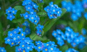 绿叶与蓝色的花朵特写摄影高清图片