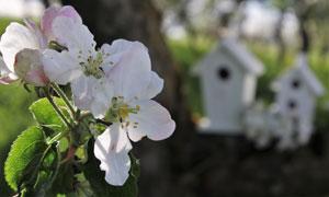 大树枝杈上的白色花朵摄影高清图片