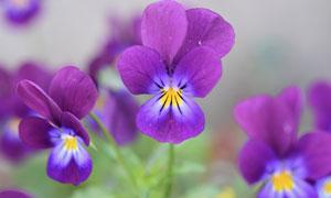 户外田园里的紫色鲜花摄影高清图片