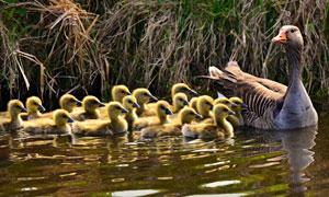 带领小鹅们游泳的大鹅摄影高清图片