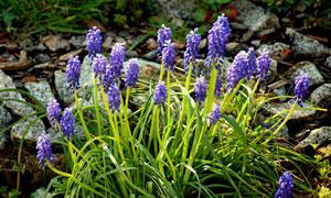 紫色的风信子花卉植物摄影高清图片