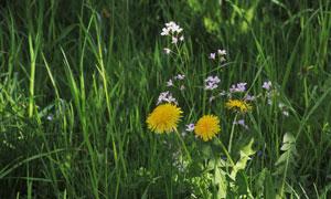 青青草丛中的鲜花植物摄影高清图片
