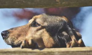 在发呆的狗狗近景特写摄影高清图片