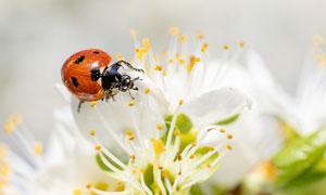 花蕊上的七星瓢虫特写摄影高清图片