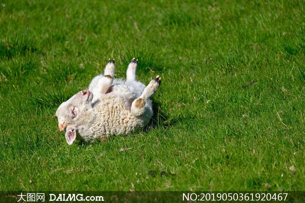 在青草地上撒欢的小羊摄影高清图片