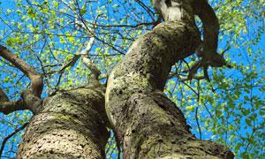 蔚蓝天空下的古树仰拍摄影高清图片