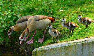 在河边的一群鸭子特写摄影高清图片