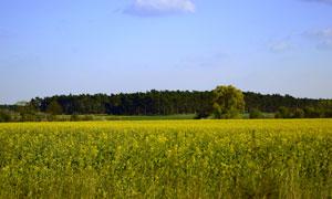树林与一大片的油菜花摄影高清图片