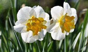绽放出鲜花的水仙特写摄影高清图片