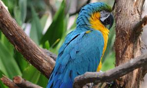 树枝上的蓝色羽毛鹦鹉摄影高清图片